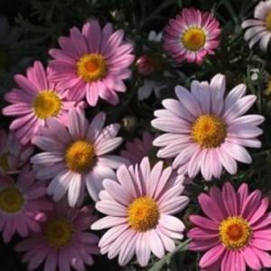 玛格丽特不开花的原因,氮肥过量或光照不足
