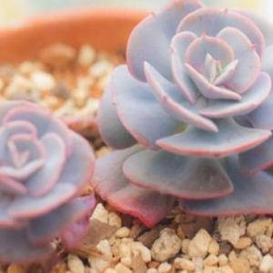 红粉台阁掉叶子是怎么回事,光照不足以及浇水过多