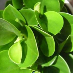 豆瓣绿叶子软了怎么办