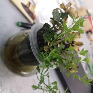 盆里养的栀子花,叶子已经干枯变黄了,也本来以为它死了 就一直放窗台上没管过它,今天一看发现向阳的一侧长出了绿枝和绿叶,朋友们这是什么呀?