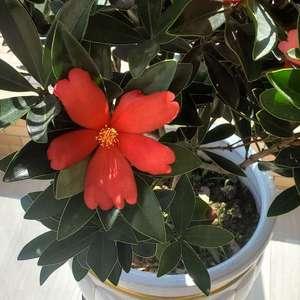 花苞长得多,开的也快,就是有时候有些花瓣很容易发蔫,不知道什么情况  #杜鹃红山茶