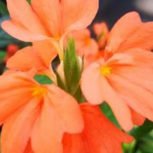 十字爵床几月开花