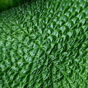王莲一种水生植物如何繁殖