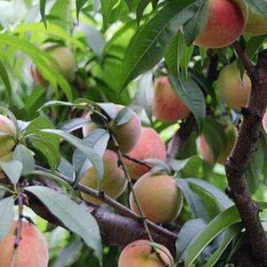 果树类虫害:桃象虫