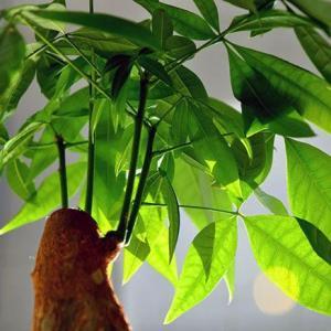 室内养护发财树的5个要点