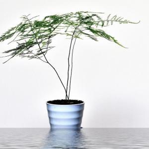 文竹可以水培吗