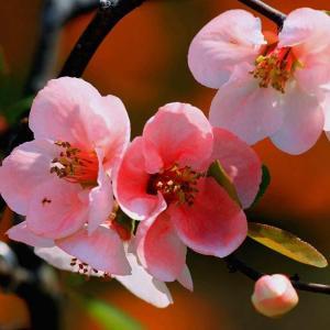 海棠花的风水象征寓意及摆放方法
