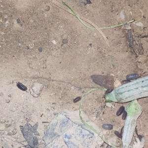 请问这种是什么虫,很多啊,种子发芽后都把幼苗吃光光