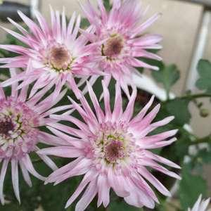 图一二是现在的花,开得超级小,是第二波,我喷了磷酸二钾也不吸收,想问问怎么办,现在花已经枯萎了!!我哭了T﹏T图三是第一次开花