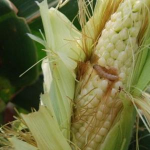 果树类虫害:玉米螟