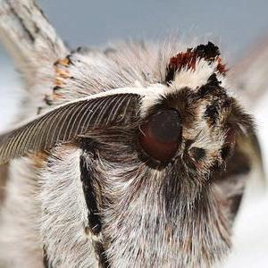 果树类虫害:桑褶翅尺蛾