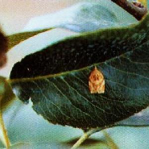 果树类虫害:苹小卷叶蛾