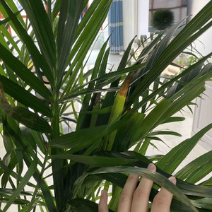 请问我这个散尾葵是怎么了?