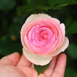 月季粉色龙沙宝石它可以不是是单季开花