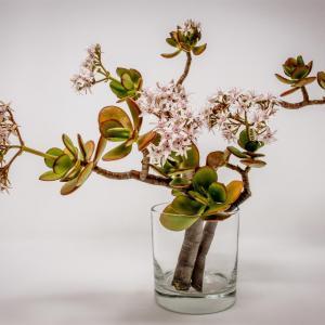 Crassula ovata/Jade Plant