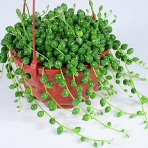 家庭栽培珍珠吊兰方法及注意事项