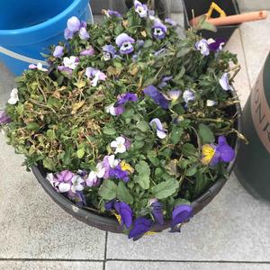 角堇 春天了,坐标上海。开了一冬的角堇也无力了,还有枯叶,是温度原因吗,现在温度15度左右 外阳台全日照。