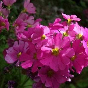 樱草花怎么养殖