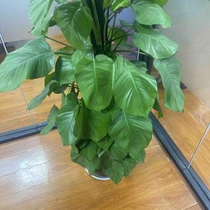 养植物小白求救: 绿箩耷拉下来怎么办呀
