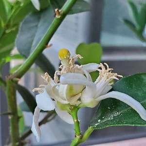 我的柠檬花授粉成功吗?今年可以结果吗? #柠檬   #柠檬树   #盆栽柠檬树