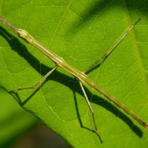 竹类虫害:竹节虫
