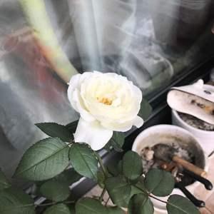 请问各位花友,我养的是一颗月季,现在有一头已经开花了,但是枝头上个别叶子出现了这种情况,我把它截下来了,请问这是什么病?应该怎么处理?