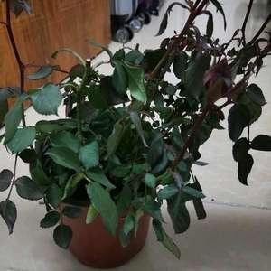 请问各位大佬,我的这盆花是怎么了?刚买回来差不多一个星期,叶子都耷拉下来了。