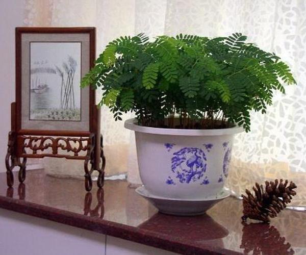 酸角树盆栽怎么保养