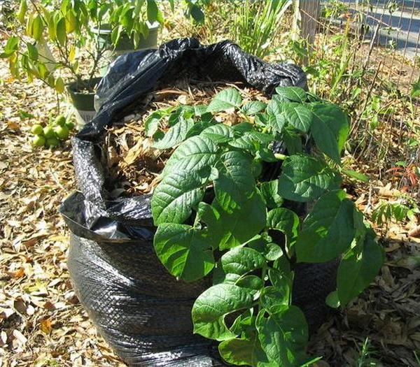 How to Grow Potatoes in a Garbage Bag