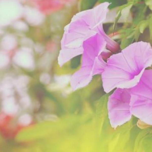 Flowers suitable for Scorpio2--Morning Glory