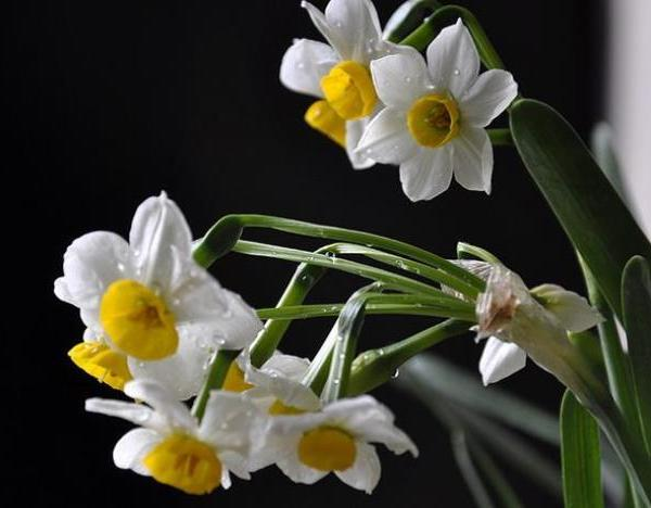 Winter can also be full of spring 2--Narcissus