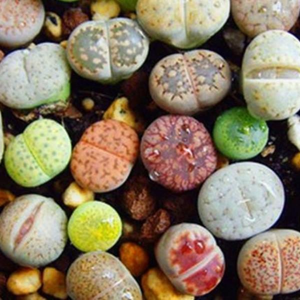 生石花该怎样养护?