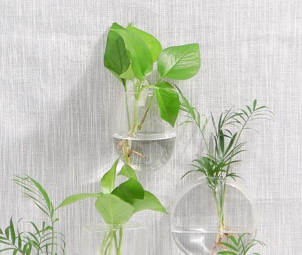 水培绿萝加白糖能生根吗