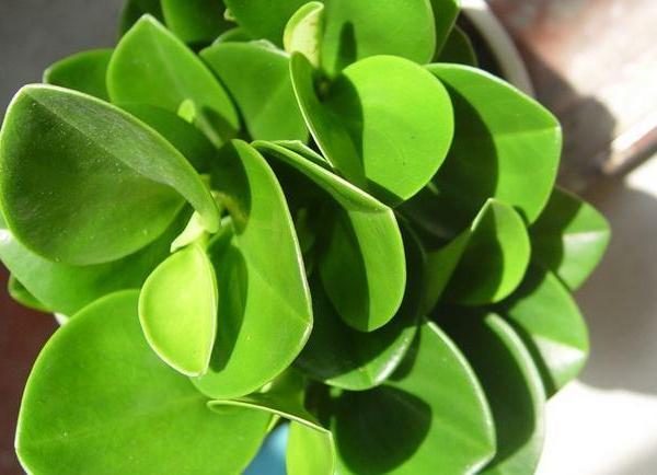 豆瓣绿分株方法