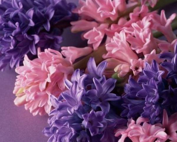 Winter can also be full of spring 1--Hyacinth