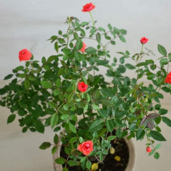 养了这么多年花,现在才知道,早上浇花才最好!