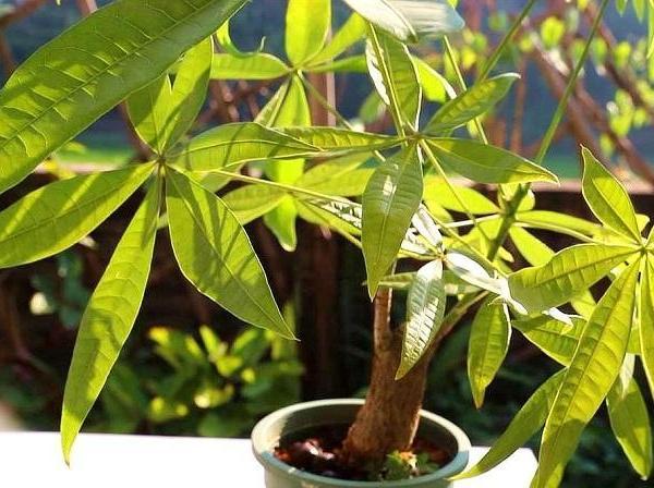 发财树对家居环境的影响
