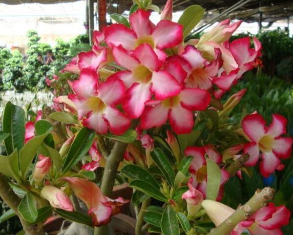 多肉植物沙漠玫瑰种植方法及养护要点