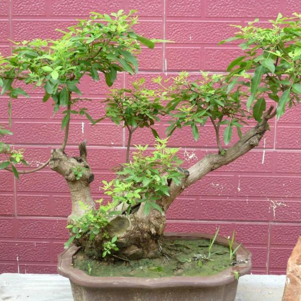 荆树疙瘩盆景的养护