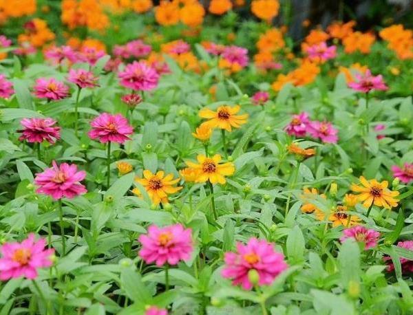 October Lucky Flower--Cosmos