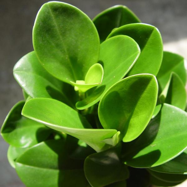 豆瓣绿怎么水培生根快