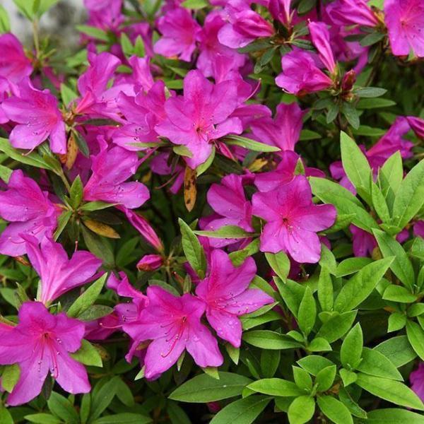 盆栽杜鹃花需要经常松土吗