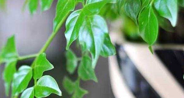 平安树叶子发干怎么办