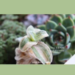白雪姬锦  - 绿手指(GFinger)百科