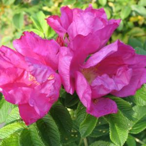 玫瑰  - 绿手指(GFinger)百科