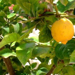 柠檬  - 绿手指(GFinger)百科