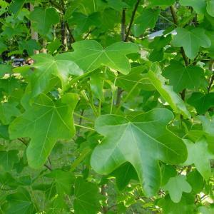 圆叶北美枫香  - 绿手指(GFinger)百科