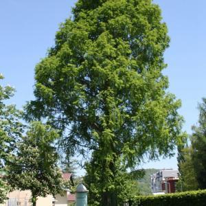 水杉  - 绿手指(GFinger)百科