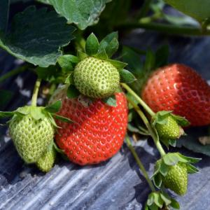 草莓  - 绿手指(GFinger)百科