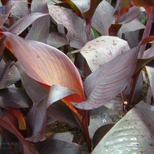 紫叶美人蕉  - 绿手指(GFinger)百科